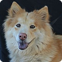 Adopt A Pet :: Amelia Earhart - Plano, TX