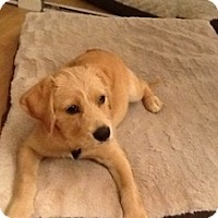 Adopt A Pet :: Tessa - little/no shed - Marlton, NJ