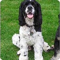 Adopt A Pet :: Checkers - Tacoma, WA