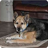 Adopt A Pet :: Ranger Boy-Mini GSD - Hamilton, MT