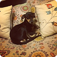Adopt A Pet :: Scarlette - Manhasset, NY