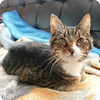 Domestic Shorthair Cat for adoption in East Brunswick, New Jersey - Indy