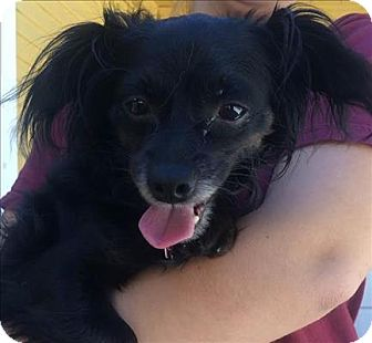 Chihuahua/Spaniel (Unknown Type) Mix Dog for adoption in Encino, California - Auto