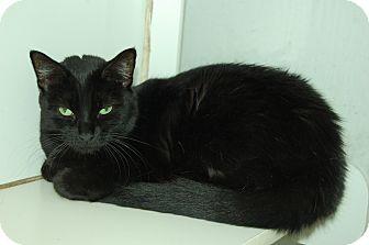 Domestic Shorthair Cat for adoption in Bradenton, Florida - Sammi