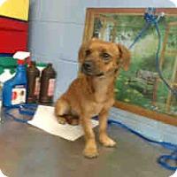 Dachshund/Chihuahua Mix Dog for adoption in San Bernardino, California - URGENT ON 10/22 San Bernardino