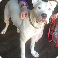 American Bulldog Puppy for adoption in Libertyville, Illinois - Daisy