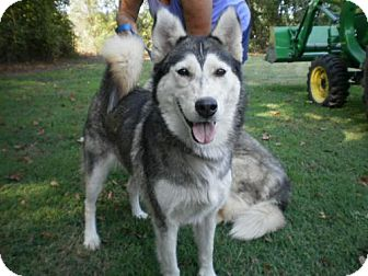 Husky Dog for adoption in Dayton, Maryland - Goldielocks