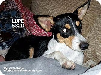 Rat Terrier Dog for adoption in Spring, Texas - Lupe