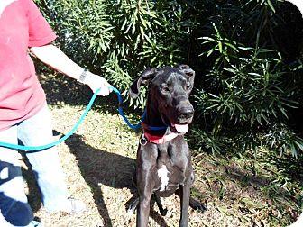 Great Dane Dog for adoption in El Paso, Texas - Nova