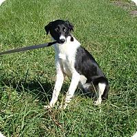 Adopt A Pet :: Katie - Cameron, MO