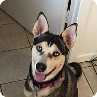 Siberian Husky/Shepherd (Unknown Type) Mix Dog for adoption in Sugar Land, Texas - Scarlett