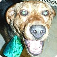 Adopt A Pet :: Sammy - Chapel Hill, NC