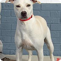 Adopt A Pet :: Snowbell(30 lb) Fun Family Pet - Williamsport, MD