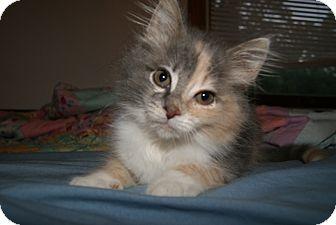 Calico Kitten for adoption in Bensalem, Pennsylvania - Taffy