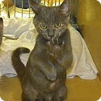 Domestic Shorthair Kitten for adoption in Miami, Florida - Fancy