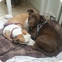Adopt A Pet :: Louie - Bardonia, NY