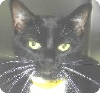 Domestic Shorthair Cat for adoption in Tinton Falls, New Jersey - Bessie