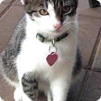 Adopt A Pet :: Kitty (Rita's Kitten) - Medford, NJ