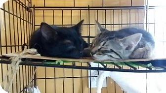 American Shorthair Kitten for adoption in Marrero, Louisiana - Hazel  - In Foster