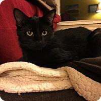 Domestic Shorthair Cat for adoption in Fenton, Missouri - Bobby