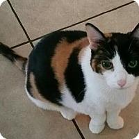 Adopt A Pet :: Cali the Calico Beauty - Oviedo, FL