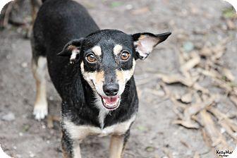Miniature Pinscher/Chihuahua Mix Dog for adoption in Myakka City, Florida - Sisco