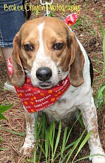 Hound (Unknown Type)/Beagle Mix Dog for adoption in Vass, North Carolina - Buddy