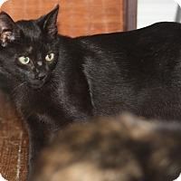 Domestic Mediumhair Kitten for adoption in Hayes, Virginia - Marcia