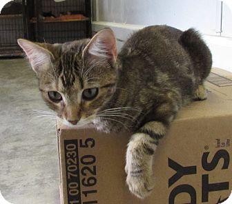 Domestic Shorthair Kitten for adoption in Jackson, Missouri - BAMBI