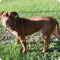American Pit Bull Terrier Mix Dog for adoption in Saginaw, Michigan - Darwin