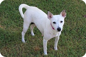 Cattle Dog/Chihuahua Mix Dog for adoption in Washington, D.C. - KINLEY