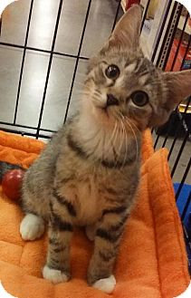 Domestic Shorthair Kitten for adoption in Knoxville, Tennessee - Meg