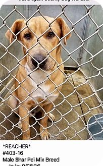 Shar Pei Mix Dog for adoption in Zanesville, Ohio - Reacher - ADOPTED!