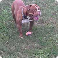 English Bulldog Dog for adoption in Katy, Texas - Duke