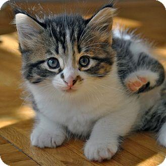Domestic Shorthair Kitten for adoption in Mississauga, Ontario, Ontario - Taja