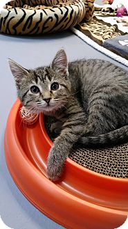 Domestic Shorthair Kitten for adoption in Austintown, Ohio - Jeep