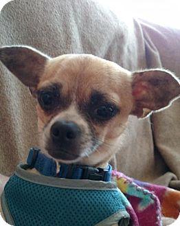 Chihuahua Mix Dog for adoption in Asheville, North Carolina - Little Bit