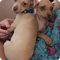 Chihuahua Puppy for adoption in Phoenix, Arizona - Zion