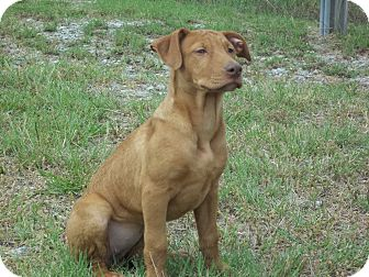 Doberman Pinscher/American Pit Bull Terrier Mix Puppy for adoption in Fort Valley, Georgia - Reba,