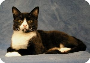 Domestic Shorthair Cat for adoption in Sacramento, California - Austin