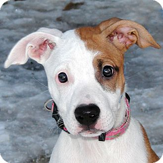 Pit Bull Terrier Mix Puppy for adoption in Howell, Michigan - Cinnabun