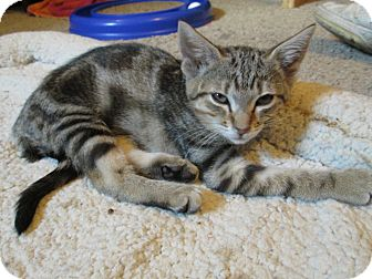 American Shorthair Kitten for adoption in Richland, Michigan - Faith