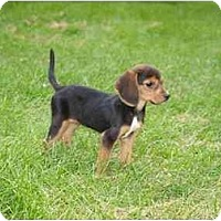 Adopt A Pet :: Dixie-Lyn - Toronto/Etobicoke/GTA, ON
