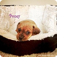 Adopt A Pet :: Posey - Rockaway, NJ