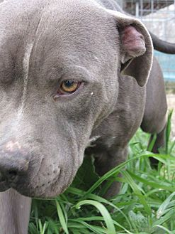 Pit Bull Terrier Dog for adoption in Somerville, Texas - Nico