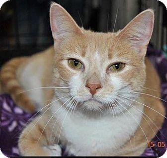Domestic Shorthair Cat for adoption in marine, Michigan - Lou Lou