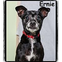 Adopt A Pet :: Ernie - Warren, PA