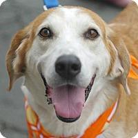 Adopt A Pet :: Daisy - Fairfax, VA