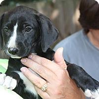 Adopt A Pet :: Rosie - kennebunkport, ME