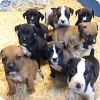 Adopt A Pet :: THANKSGIVING LITTER - Pompton Lakes, NJ